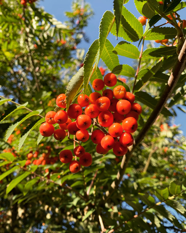 A cluster of vibrant, dark orange berries on a tree in a golden-hour glow