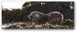 Otters eat about 15% of their body weight each day  » Click to zoom ->