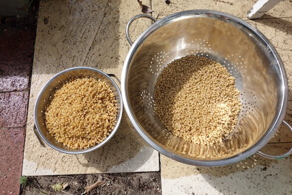 Draining grain in sieves
