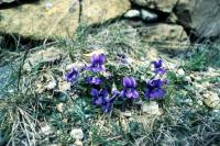Common Dog-violet flowers on rocky ground
