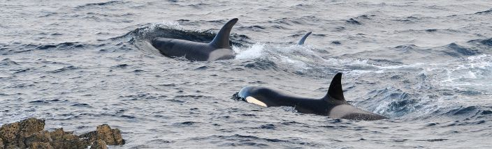 Killer Whales (Orcas)