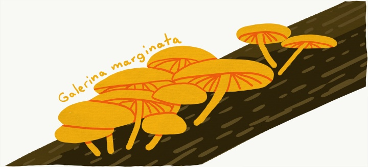 Galerina marginata - Autumn skullcap mushrooms