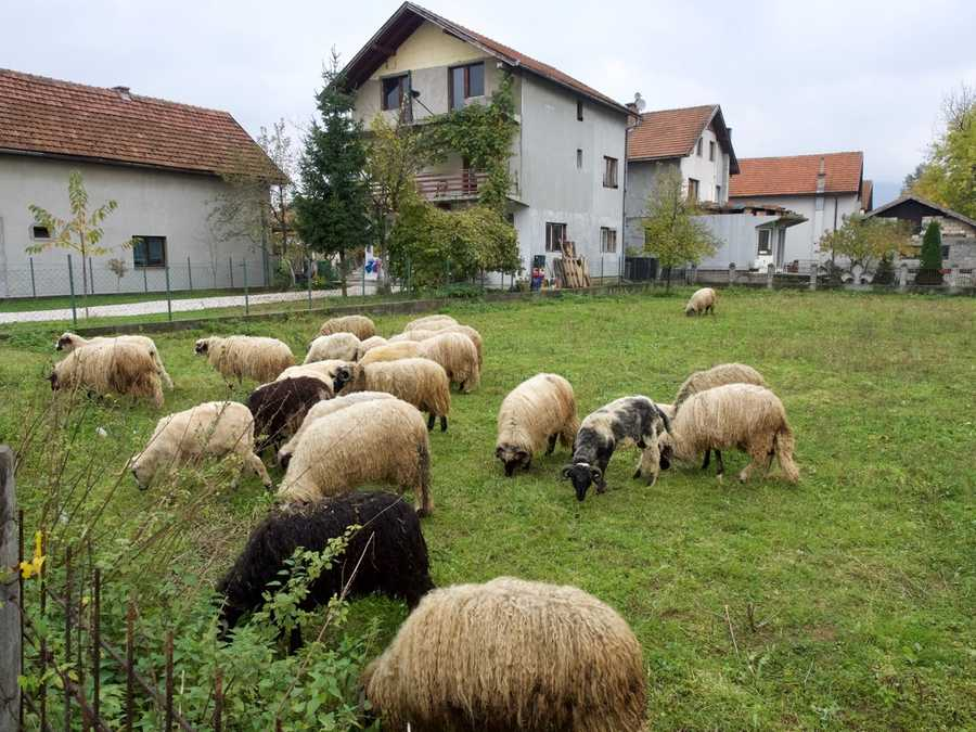 Sheep we encountered on our walk to the Sarajevo Tunnel