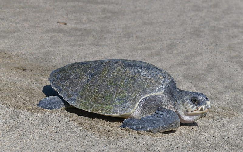 Tartaruga-oliva rastejando na areia da praia, durante o dia