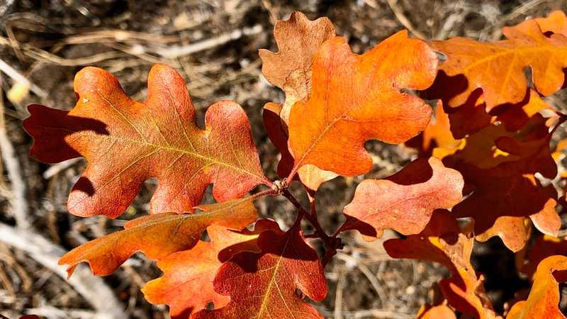 Oak leaves on Hat Creek Rim