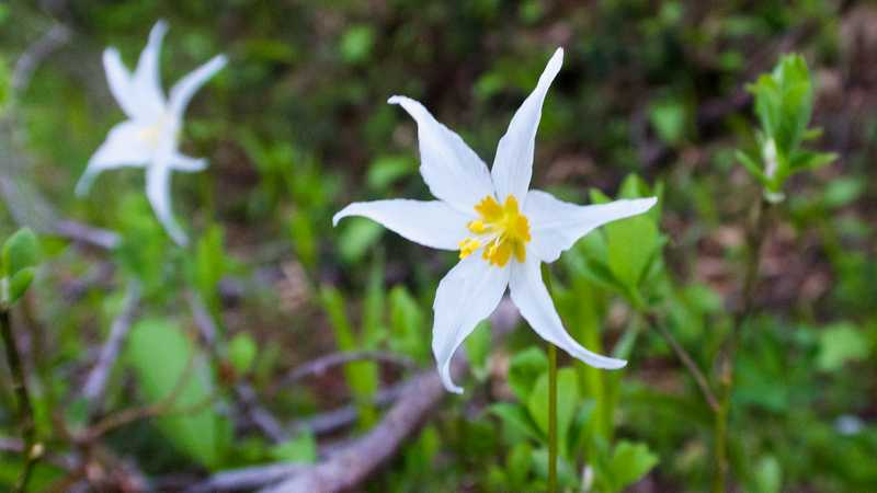 A white avalanche lily bloom
