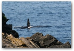 Orca's can be seen very close inshore  » Click to zoom ->