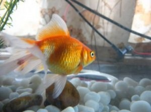 How to Start Caring For Goldfish