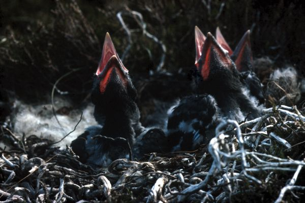Raven chicks in the nest