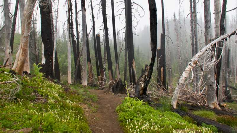 Burnt trees in a mist