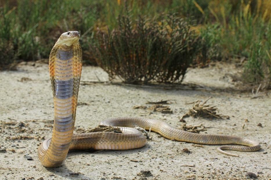 Cobra del bosque