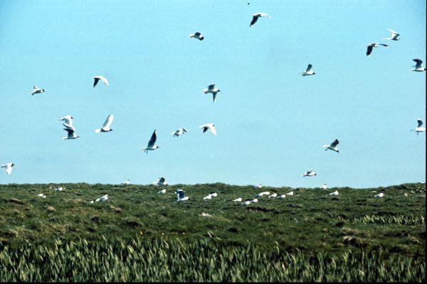A colony of Black Headed Gulls in flight
