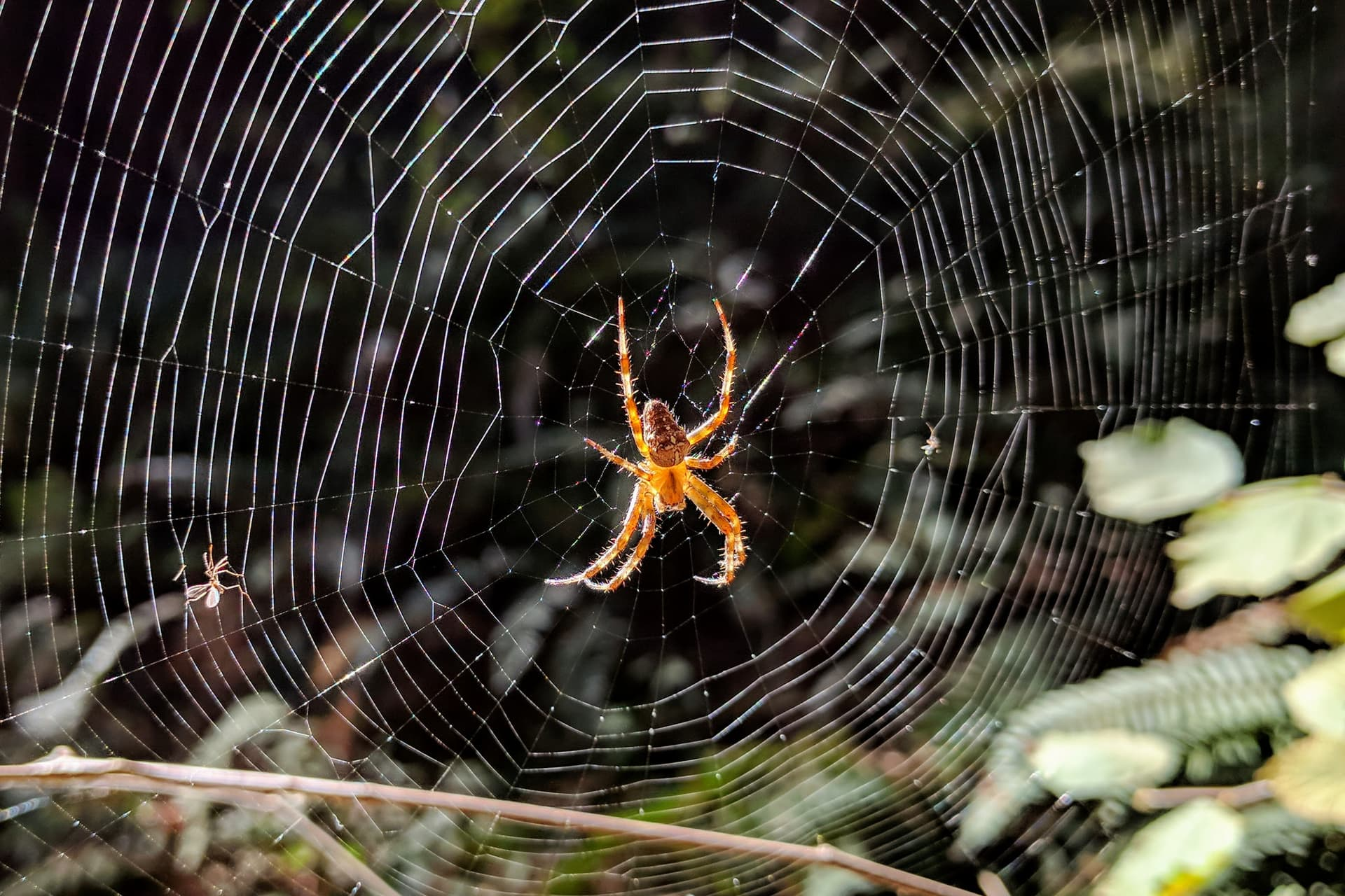 An orange spider sits in the middle of an orb web in the forest. It almost seems to glow in the afternoon light.