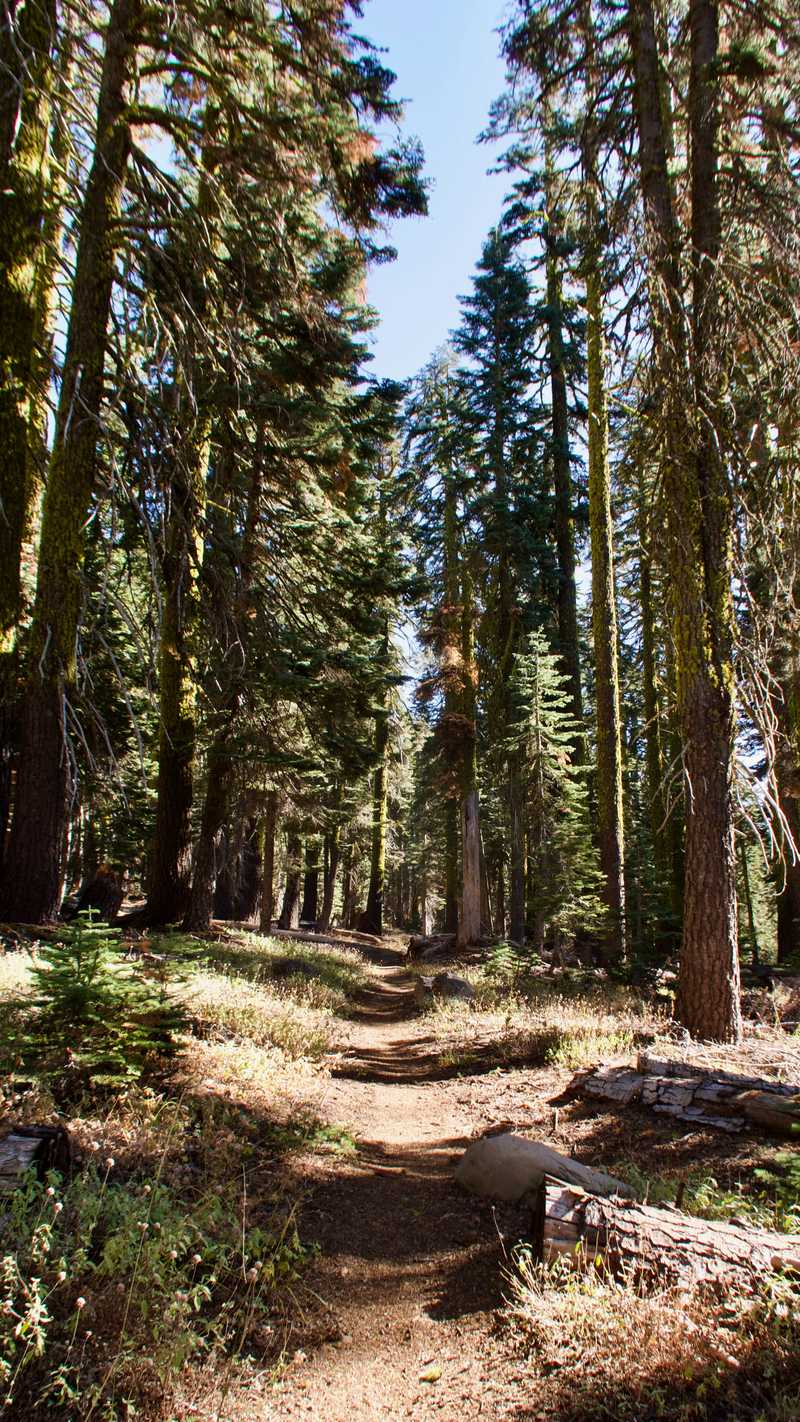 The PCT passes through a forest of tall trees