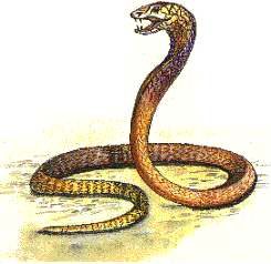 The Deadly King Cobra