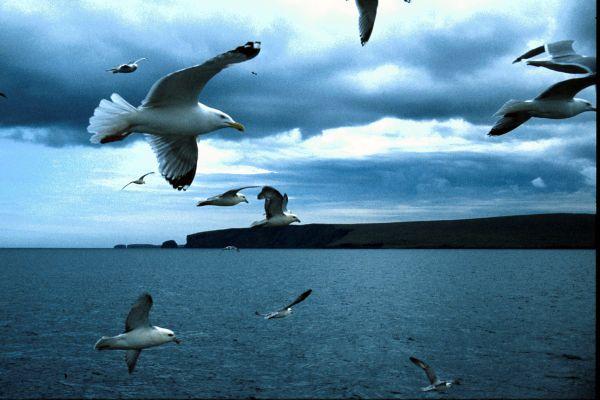 A flock of gulls off Fetlar