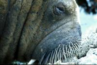 A very close shot of the Walrus