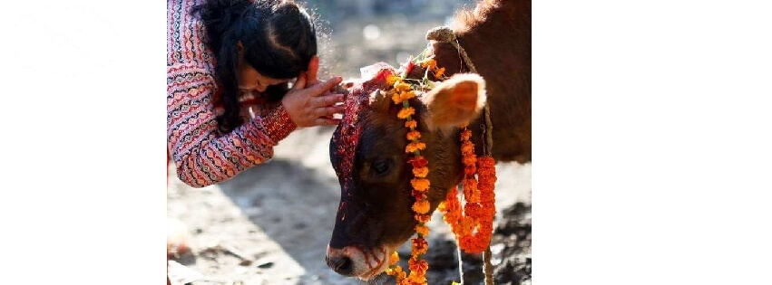 Nepali women worshipping cow