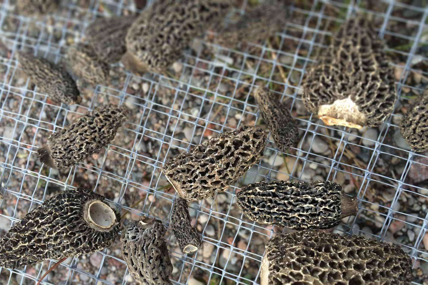 Morels drying in the sun