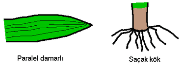 tek çenekli bitkiler