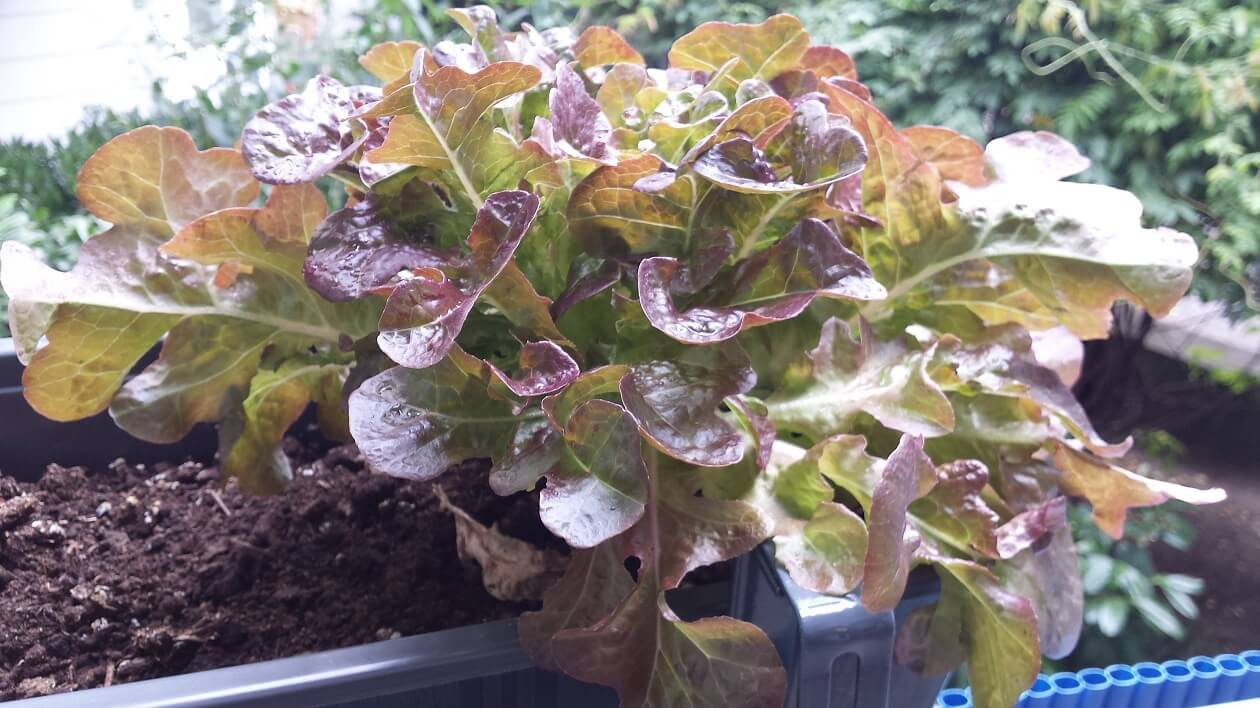 Selbst angebauter Salat