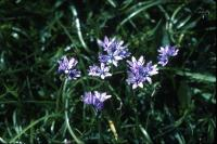 Spring Squill flowers in close-up
