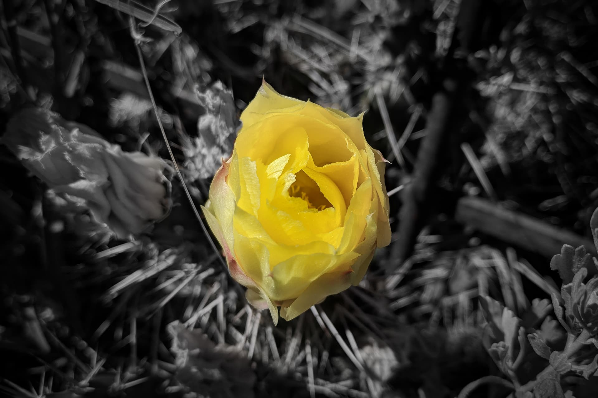 A bright yellow cactus flower.