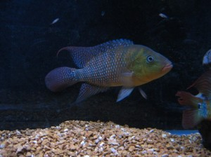 Piranha Care Basics - Basic Information on Keeping a Piranha as a Pet