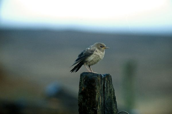A Rose-coloured Starling on a fencepost