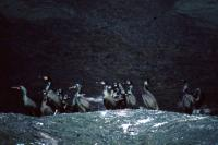 A group of Shags on a ledge