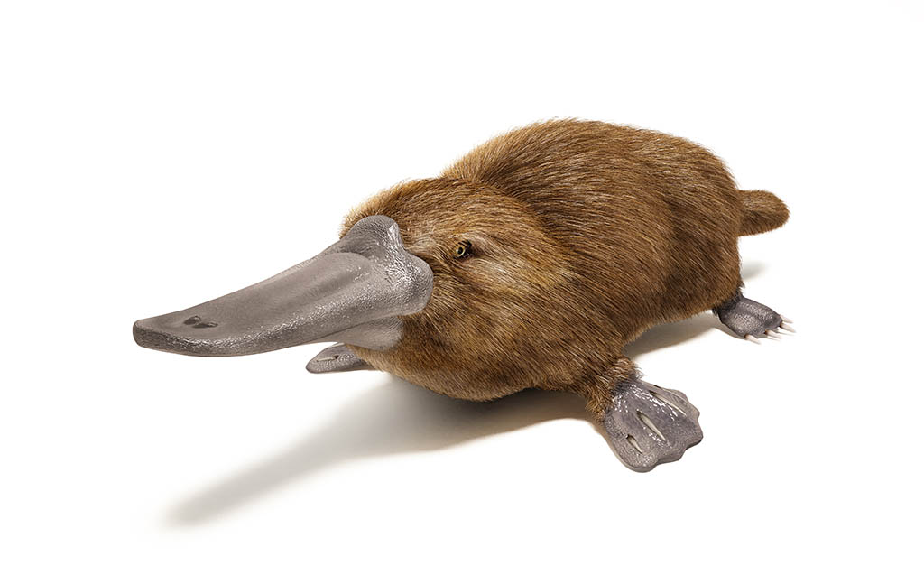 Which Mammal lays Eggs? Buck-billed Platypus of Australia