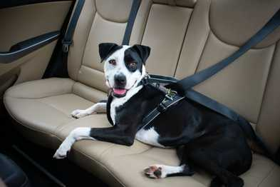 Why Your Dog Needs a Crash Tested Harness