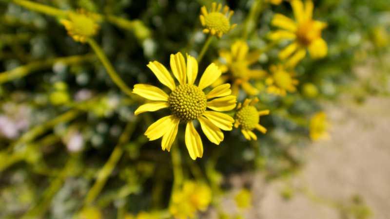 Ragleaf bahia, also known as yellow ragweed