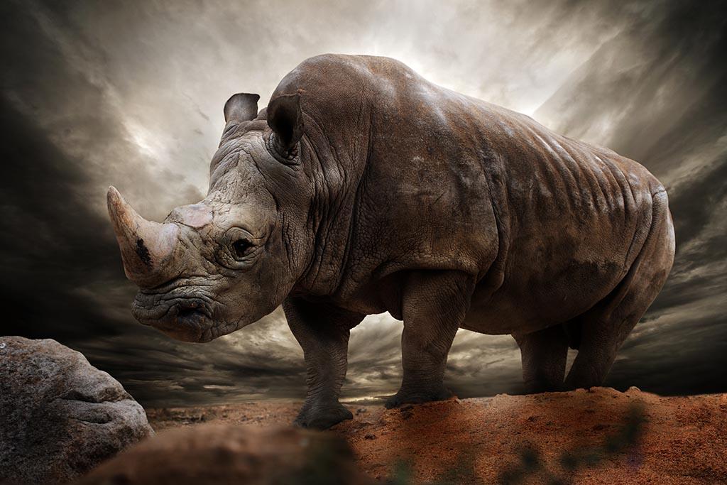 Rhinoceros: On the Comeback Trail