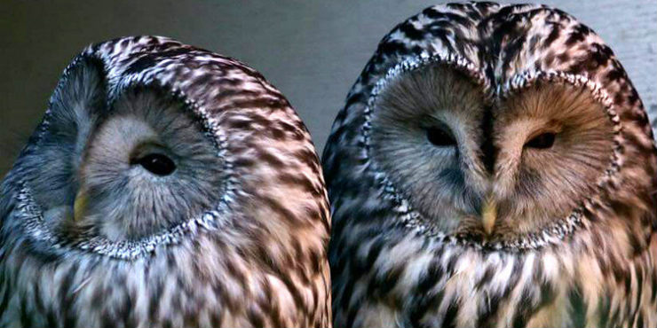 Ural owls Bea and Bumble