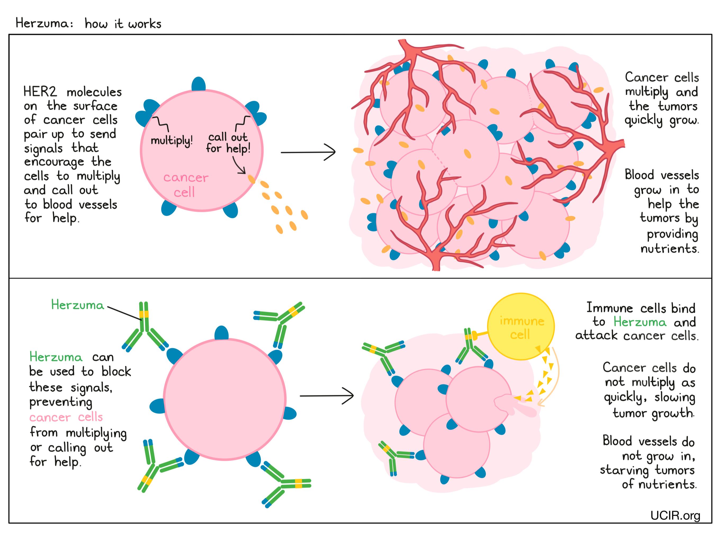 Illustration showing how Herzuma works