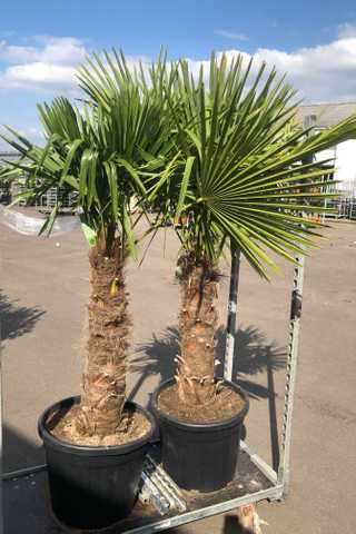 Winterharde palmbomen