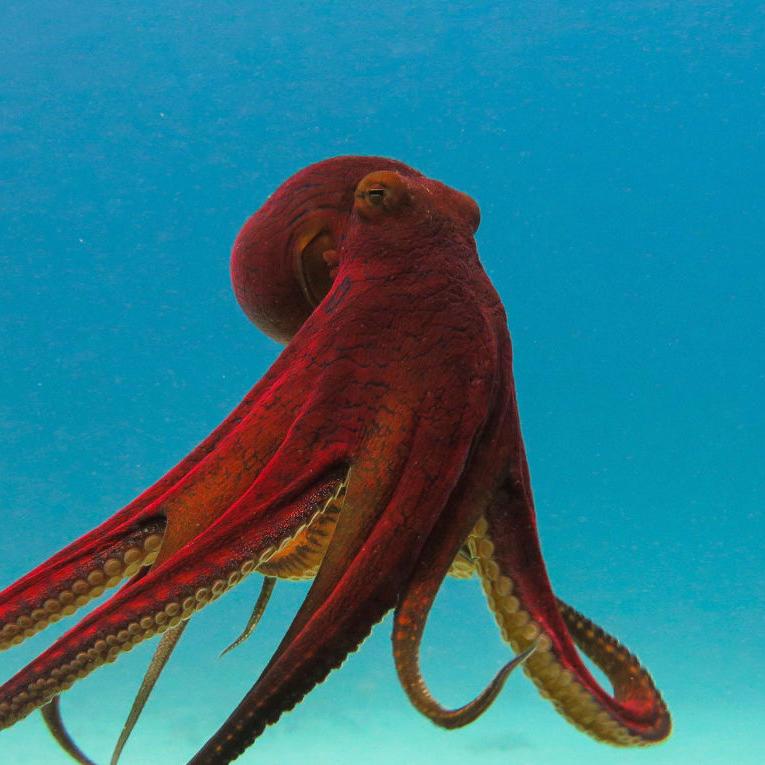 """«Вероятно, каждая его рука обладает собственным разумом — и, возможно, даже собственным """"Я""""» — из книги Сай Монтгомери «Душа осьминога». Фото: iStock"""