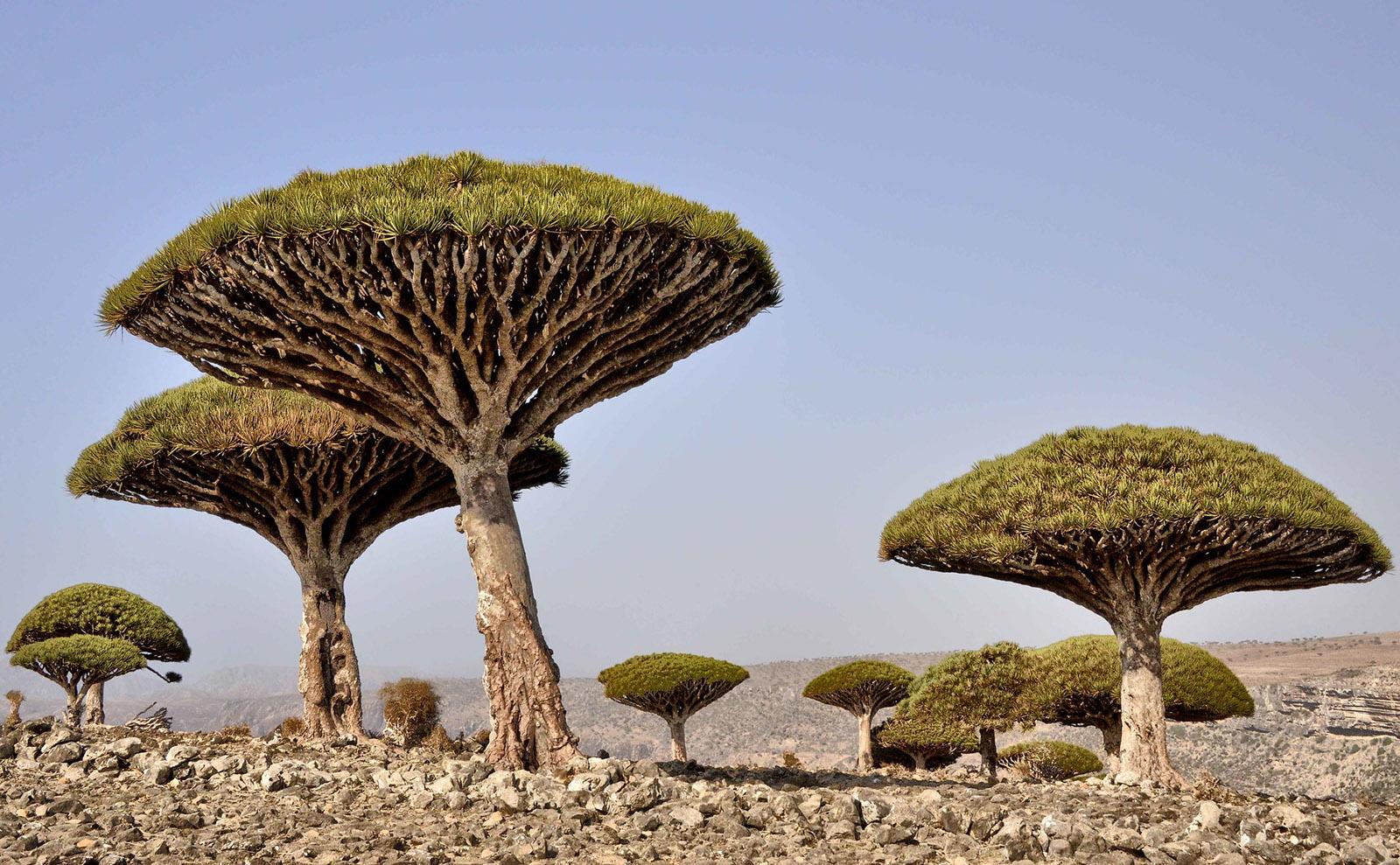 unusual trees on socotra island