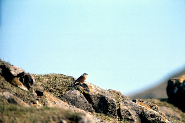 An Ortolan Bunting on a rocky mound