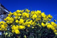 Bird's-foot-trefoil against a blue sky