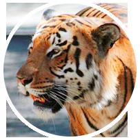 tiger-in-circle
