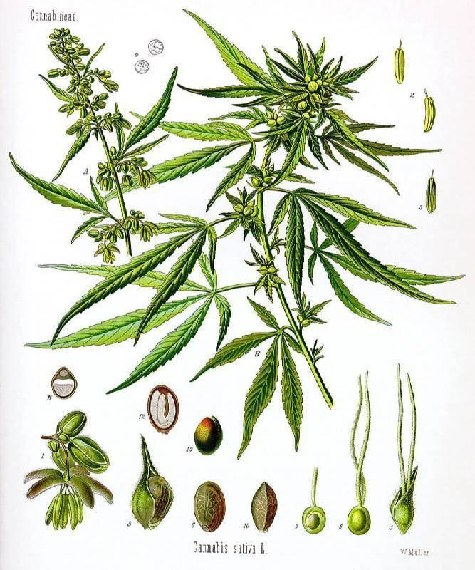 Historical Depiction Of The Cannabis Plant