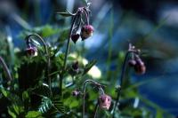 Water Avens coming into flower