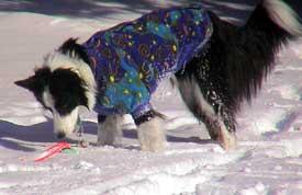 Milo in his Fleece Coat