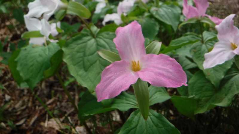 Pink trillium