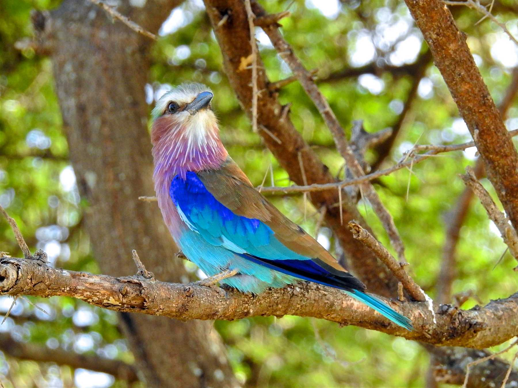 Tanzania Lilac Breasted Roller
