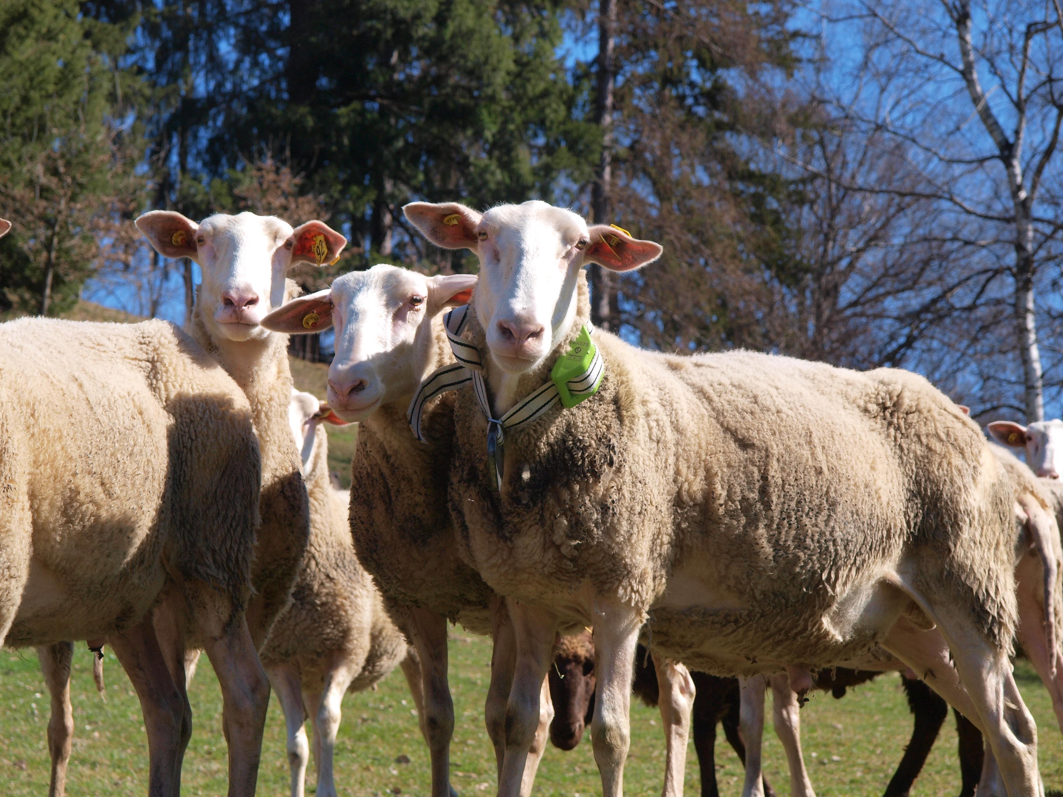 Das Internet der Tiere: Schafe von heute funken mit 0G