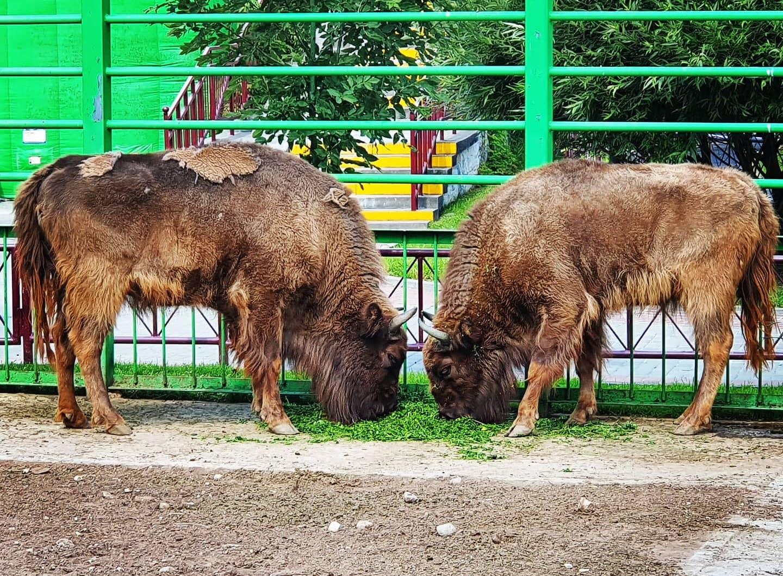 Зубры в Гродненском зоопарке. Лето 2020 г. Фото А.Басак