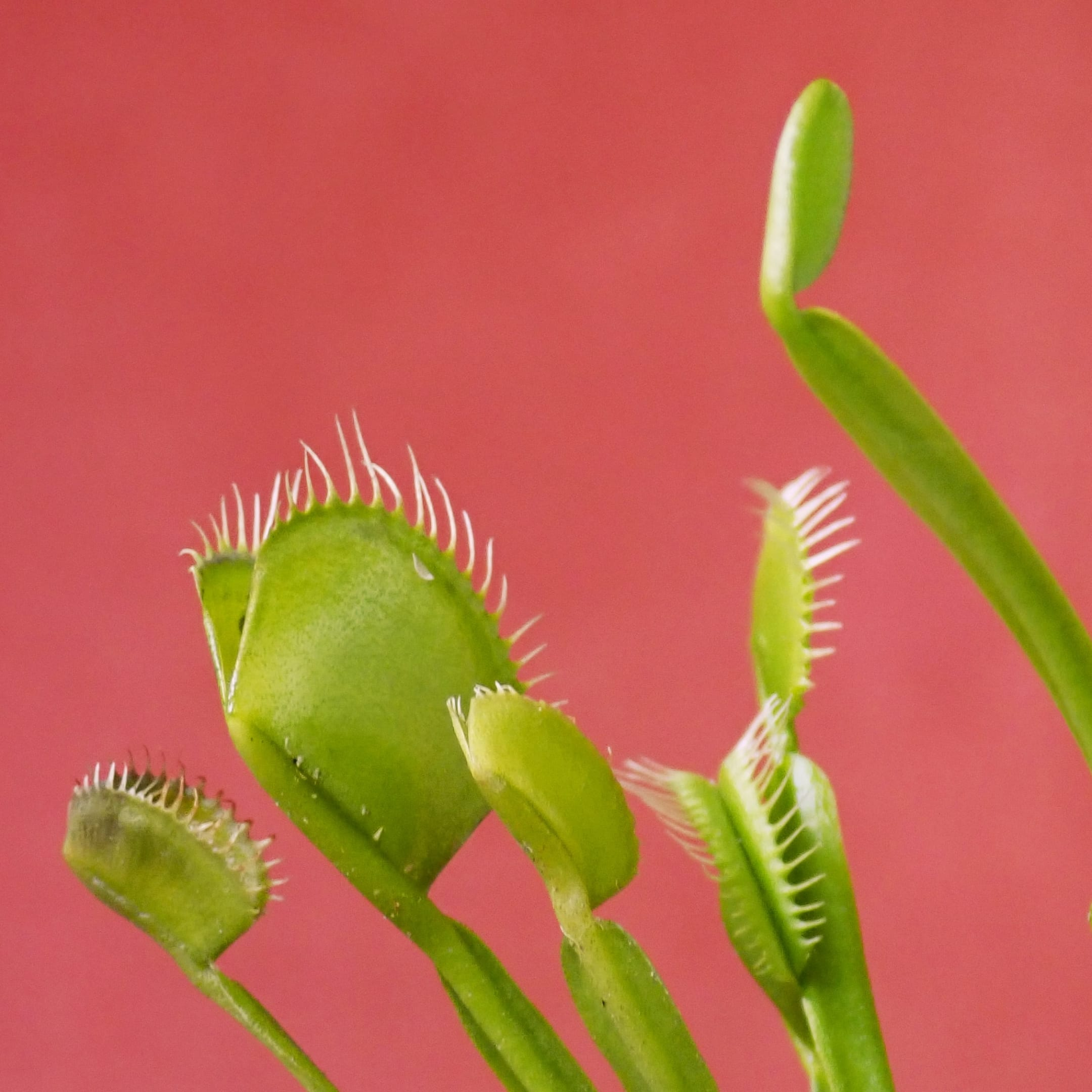 Хищное растение Венерина мухоловка (лат. Dionaea muscipula). Фото: Carla Anne / unsplash.com